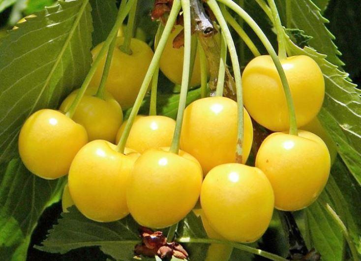 Deniseno - trešnių sodinukas