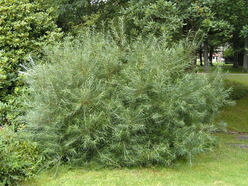 Pelkinis karklas (salix rosmarinilifolia)
