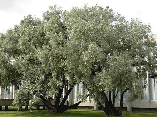 """Gluosnis baltasis (Salix alba) """"Sericea"""""""