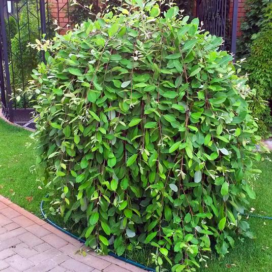Blindė paprastoji  (Salix caprea) 'Kilmarnock'