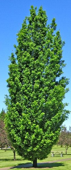 Paprastasis koloninis ąžuolas (quercus robur) 'Fastigiata'