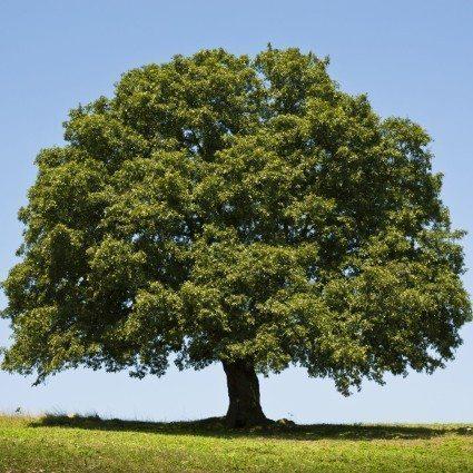 Paprastasis ąžuolas ( quercus Robur)