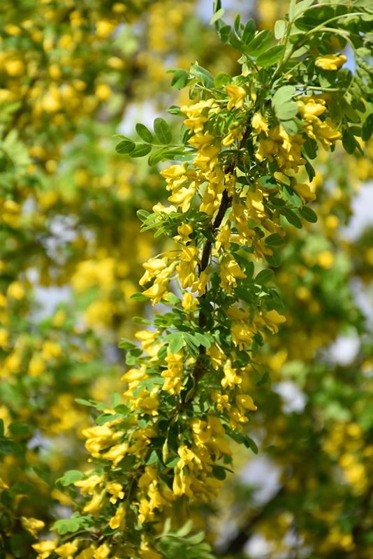 Paprastoji karagana (Caragana arborescens), vadinama geltonąja akacija.