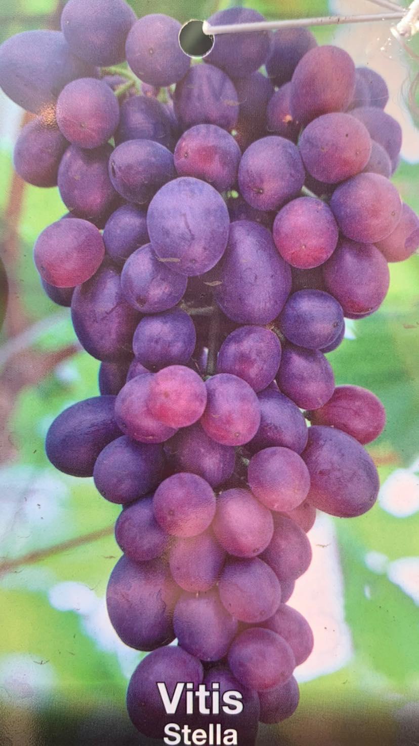 Vynuogė STELLA