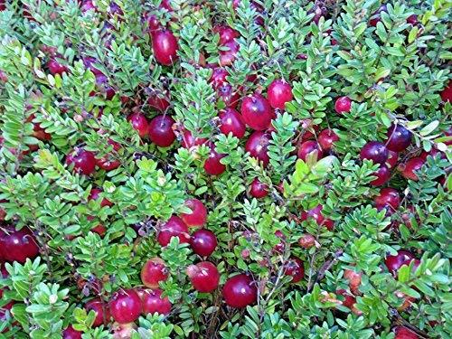 """Spanguolė (Vaccinium macrocarpon) """"Pilgrim"""""""