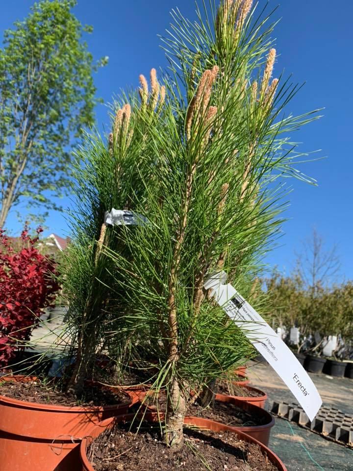 """Pušis gausiažiedė ( pinus densiflora) """"erecta"""""""