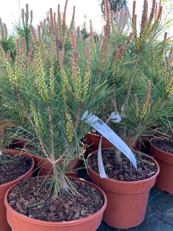 """Pušis gausiažiedė ( pinus densiflora) """"tanyosho compacta"""""""