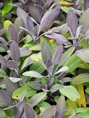 Šalavijas vaistinis (Salvia officinalis)  'Purpurascens'