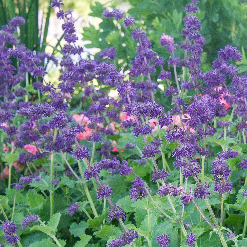 Šalavijas menturinis (Salvia verticillata) 'Purple Rain'