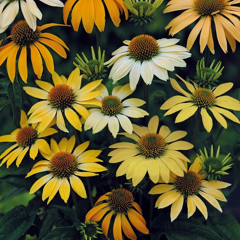 "Ežiuolė ( echinacea)  ""Mellow yellow"""