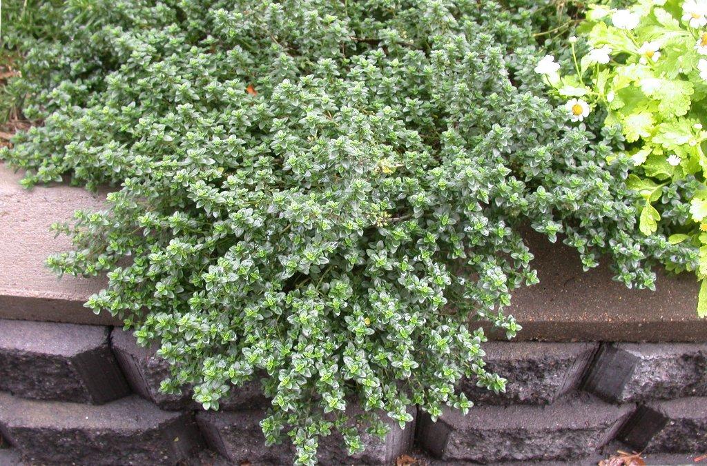 "Čiobrelis citrininis (Thymus citriodorus) ""Aureus"""