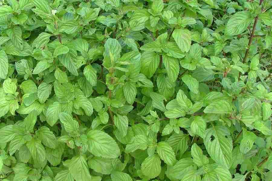 "Mėta hibridinė (Mentha x piperita f. citrata) ""Bergamot"""